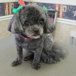 Shih-Poo after grooming with hair bows
