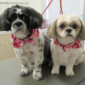 Two shih tzus each with a bandanna after being groomed
