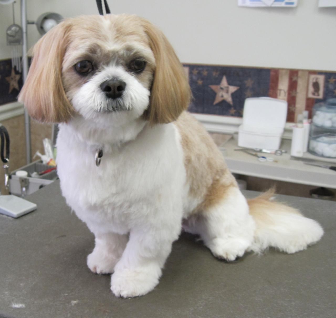 Shih Tzu Haircut Photos Dohoaso