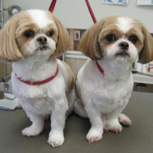 Shih Tzus feeling clean and pretty after a pet grooming