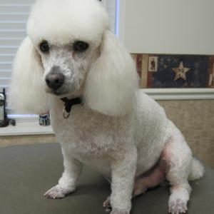 Miniature poodle after a full groom