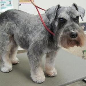 Schnauzer after a full groom