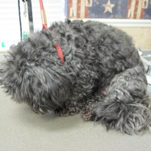 ShihPoo (Part Shih Tzu and Part Poodle) before grooming