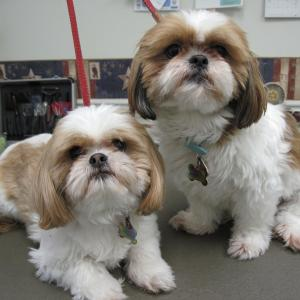 Pair of shih tzus looking for a pet groomer