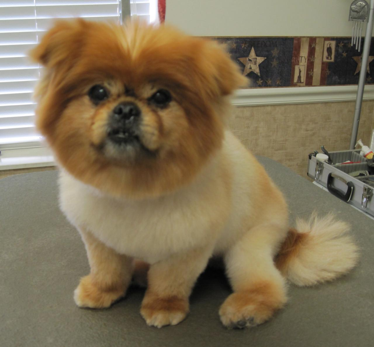 27 Excellent Pomeranian Haircut Styles Dohoaso