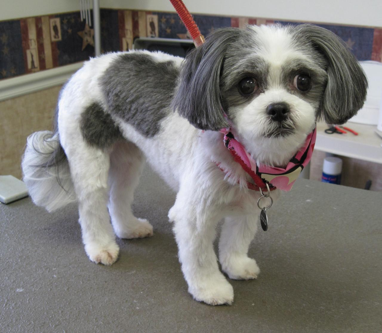 shih poo haircut styles 1000 images about shih tzu haircuts on pinterest